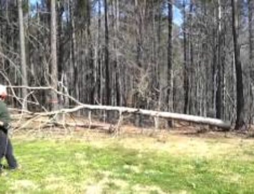 Using a ball and throwline to attach rope to tree-top…